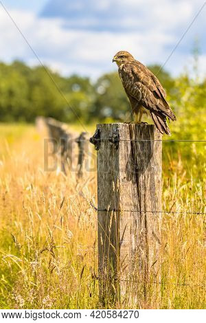 Common Buzzard (buteo Buteo) Perched On Pole On Green Background And Looking For Rodent Prey. Wildli