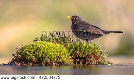 Common Blackbird (turdus Merula). One Of The Most Familiar Birds In Parks And Gardens Of Europe. Mal