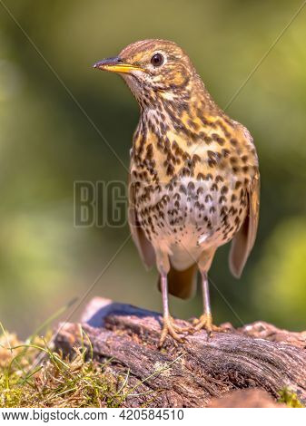 Song Thrush (turdus Philomelos) Perched On Ground With Green Ecological Garden Background And Lookin
