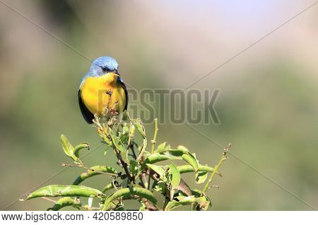 Tropical Parula (setophaga Pitiayumi) Perched On Top Of A Green Branch Under A Greenish Background