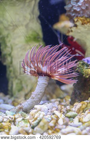 A Calcareous Tube Worm Lets Its Feathers Dance In The Current. Lime Tube Worms Belong To The Class O