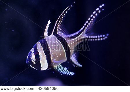 Close Up Of A Cardinal Fish In The Aquarium.
