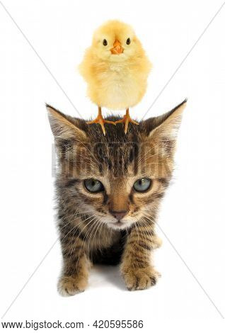Cute chick is standing on top of head of lovely kitten kitty cat baby animals isolated on white background