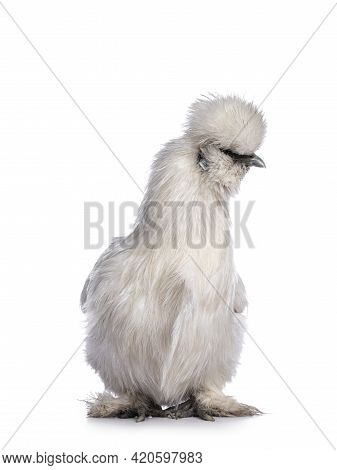 Cute Fluffy White Bantam Silkie Chicken, Standing Facing Front. Looking To The Side. Isolated On Whi