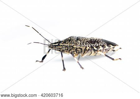 Image Of Yellow Spotted Stink Bug Isolated On White Background. Animal. Insect.
