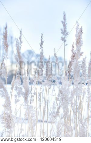 Soft Focus Abstract Natural Background Of Soft Plants Cortaderia Selloana Moving In The Wind. Bright