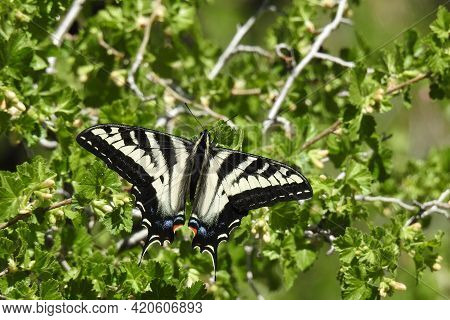 A Beautiful Pale Swallowtail Butterfly Perched On The Lush Green Foliage, In The Los Padres National