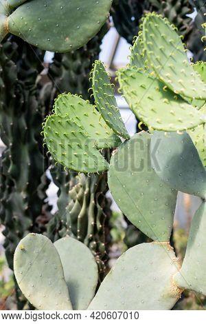 Spiky Cactus Landscape, Field. Garden Of Flower.cactus Planted In A Botanical Garden, Desert Valley.