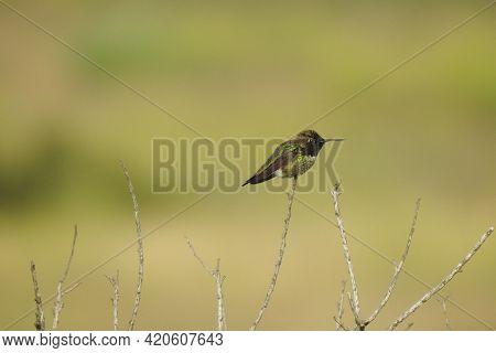 Anna\\\'s Hummingbird Perched On A Tiny Branch In The Santa Monica Mountain Wilderness, Ventura Coun