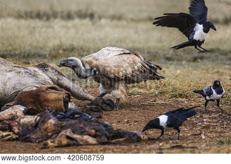 Cape Vulture And African Pied Crow Scavenging A Carcass In Vulpro Rehabilitation Center, South Afric