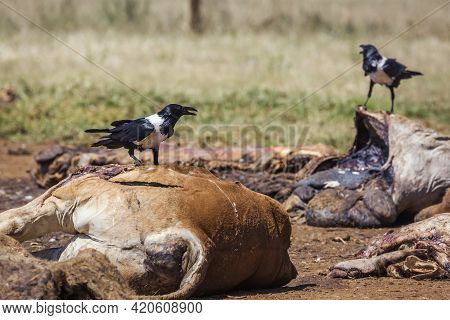 African Pied Crow Scavenging A Cattle Carcass In Vulpro Rehabilitation Center, South Africa; Specie