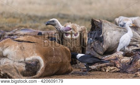 White Backed Vulture And African Pied Crow Scavenging A Carcass In Vulpro Rehabilitation Center, Sou