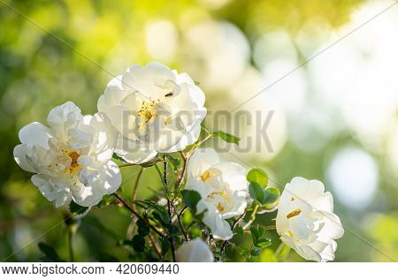 Natural Background With Blooming White Rose Bush Close-up On Blurry Natural Yellow-green Backdrop.
