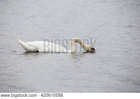 A Young White Swan Swims On The Calm Water Of The Lake. The Swan Bent Its Neck And Plunged Its Beak