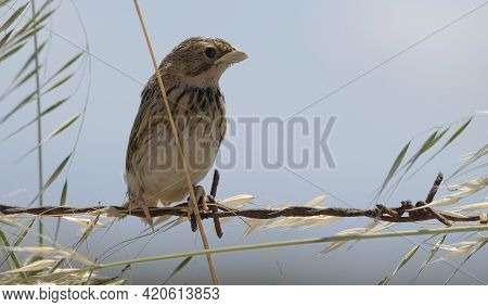 Sparrow Passer Italiae (scientific Name) Perched On A Branch In Natural Habitat