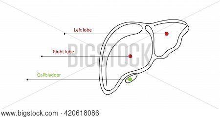 Liver Anatomy Structure.hepatic System Organ, Digestive Gallbladder Organ.medical Concept. Vector Il