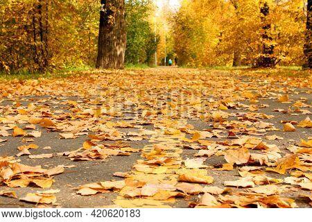 Fallen Yellow Autumn Leaves On The Asphalt Road In The Park Small Foliage. Plants. Autumn. Backgroun