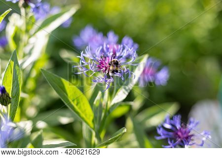 Honey Bee On Blue Cornflower. Bee Collects Flower Nectar Of Cornflower On A Summer Day.bees Pollinat