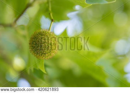 Maple-leaved Plane Tree - Green Fruit Of A Common Plane Tree, Bokeh Background