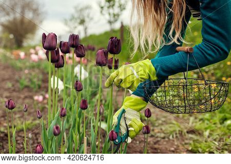Gardener Picking Black Purple Tulips In Spring Garden. Woman Cuts Flowers Off With Secateurs Holding