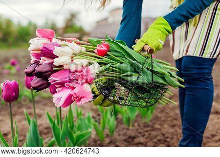 Fresh Tulips Gathered In Metal Basket In Spring Garden. Gardener Woman Holds Purple, White, Pink Flo