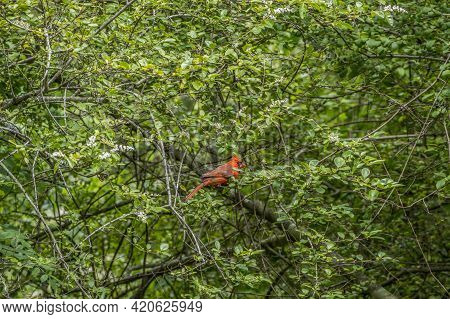 Bright Red Male Cardinal Perch On A Branch Of A White Flowering Chinese Privet Bush In The Woodlands