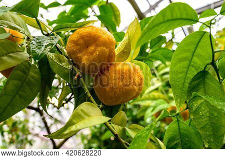 Tangerines Among Foliage. Tangerine On A Tree