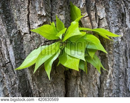 Light Green Leaves Of Young Linden On The Bark Of A Tree. Tilia In Eastern Europe, Russia. There Is