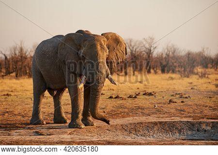 In Botswana A Large Elephant (loxodonta Africana) Walks In The Wild Savannah.