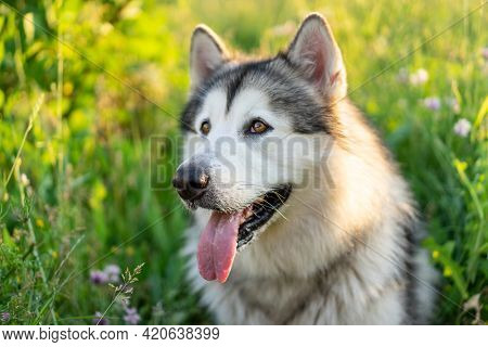 Adorable husky dog with tonque out sitting in the grass in field. Cute young doggy with incredible eyes in summertime feels hot. Pet portrait outsude