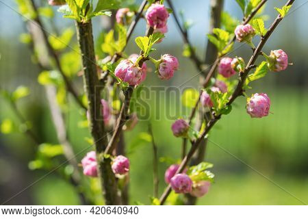 Close Up Of Prunus Triloba (flowering Plum, Flowering Almond, Shrubby Cherry) Shrub Branches With Op