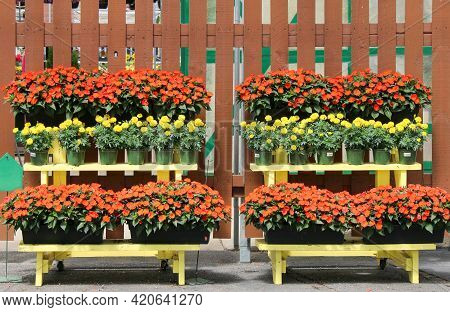 Bright Red And Yellow Blooming Flowers Display At Outdoors Nursery Market Or Formal Backyard Garden