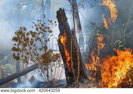 Forest After A Fire . Trees That Are Severely Damaged By Fire