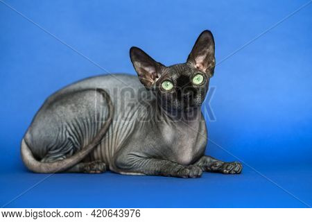 Hairless Canadian Sphynx Cat - Breed Of Cat Known For Its Lack Of Fur. Full Length Portrait Of Lies
