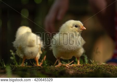 Closeup Of Broiler Chick With Another In The Background..