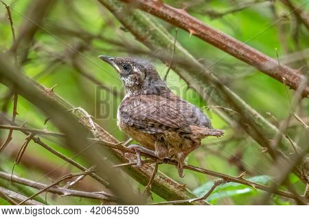 A Carolina Wren (thryothorus Ludovicianus)  Fledgling In The Safety Of The Brier Patch. Raleigh, Nor