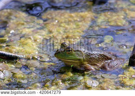 Lithobates Catesbeianus - A Series Of Photos Showing The Impressive Amphibian Basking