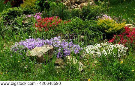 Art Photo Pelargonium Geranium Group Bright Cerise Pink Flowers In Home Garden. Selective Focus. The