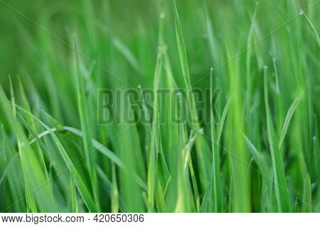 Green Grass On Green Background. Green Grass Covered With Water Drops Background