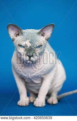 Portrait Of Pretty Canadian Sphynx Cat - Breed Of Cat Known For Its Lack Of Fur. Hairless Cat Sittin