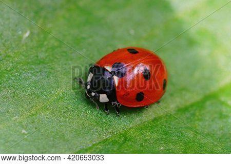 Closeup Of The  Red Seven-spot Ladybird , Coccinella Septempunctata , On A Green Leaf