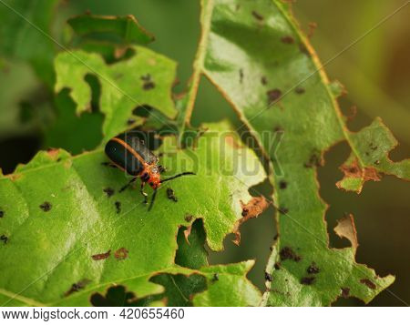Insects Are Gnawing At The Leaves Until They Become Cleft.