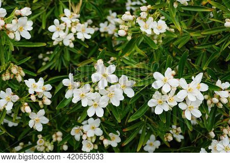 Choisya Shrub With Delicate Small White Flowers After Rain In The Morning Sun. Mexican Mock Orange E
