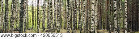 Beautiful Birches In The Spring Forest. Birch Grove.