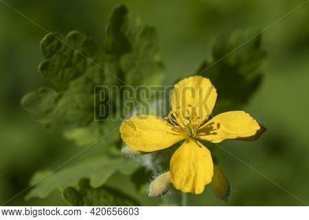 Yellow Flower, Buds And Leaves Of Greater Celandine (chelidonium Majus)