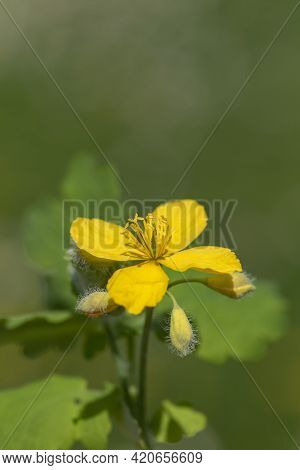 Yellow Bloom, Buds And Leaves Of Greater Celandine (chelidonium Majus)