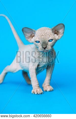 Sweet Hairless Kitten Of Canadian Sphynx Cat Breed Standing On Blue Background And Looking At Camera