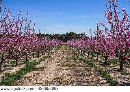 Peach Blossom In Cieza, Mirador De Macetua. Photography Of A Blossoming Of Peach Trees In Cieza In T
