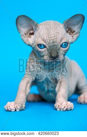 Excellent Hairless Kitten Of Canadian Sphynx Cat Breed Sitting On Blue Background And Looking At Cam