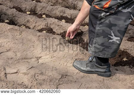 A Gardener Plants Home Grown Seed Potatoes In Humus Rich Soil. The Potato Tubers Are Inserted Into T